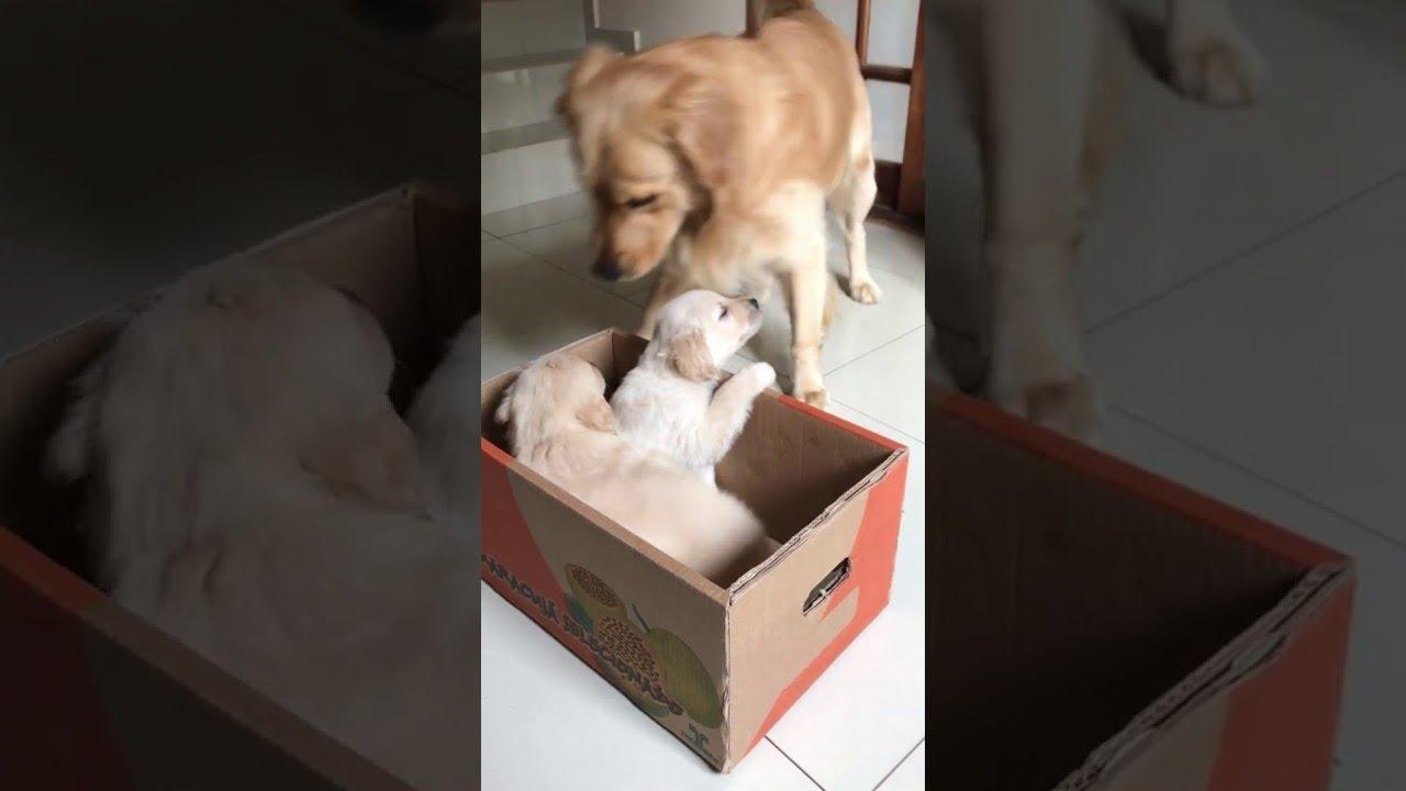 golden-retriever-gets-a-puppy-surprise-viralhog