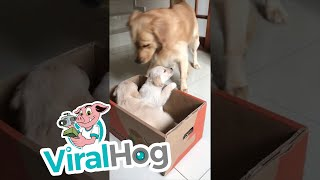 golden-retriever-gets-a-puppy-surprise-viralhog