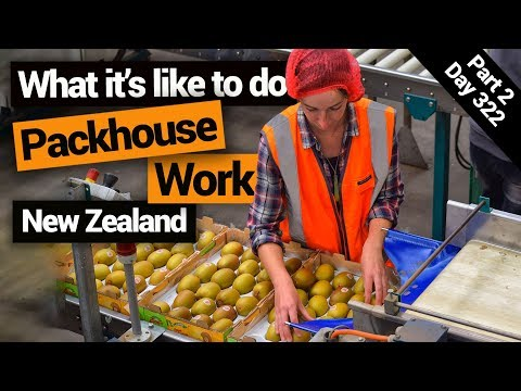 Working In A Kiwifruit Packhouse In New Zealand – New Zealand's Biggest Gap Year