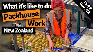 Working in a Kiwiḟruit Packhouse in New Zealand – New Zealand's Biggest Gap Year