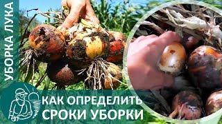 🍅 Когда и как убирать лук с грядки: определение сроков, выкапывание, просушивание перед хранением