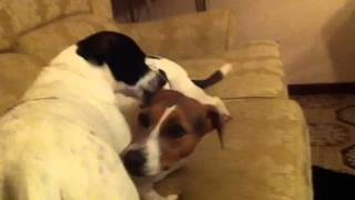 Jerry And Milly Fox Terrier And Jack-a-bee Beagle Grooming And Playing