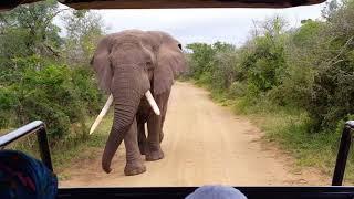 Elefant Safari Nationalpark Hluhluwe Südafrika Słoń Park Narodowy Południowa Afryka