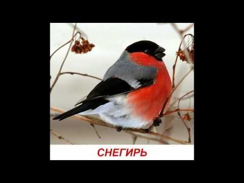 Голоса птиц для детей. Развивалки Умный Ребенок