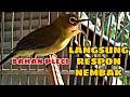Pleci Bahan Jadi Nembak Gacoan Auto Langsung Respon Masteran Pleci  Mp3 - Mp4 Download