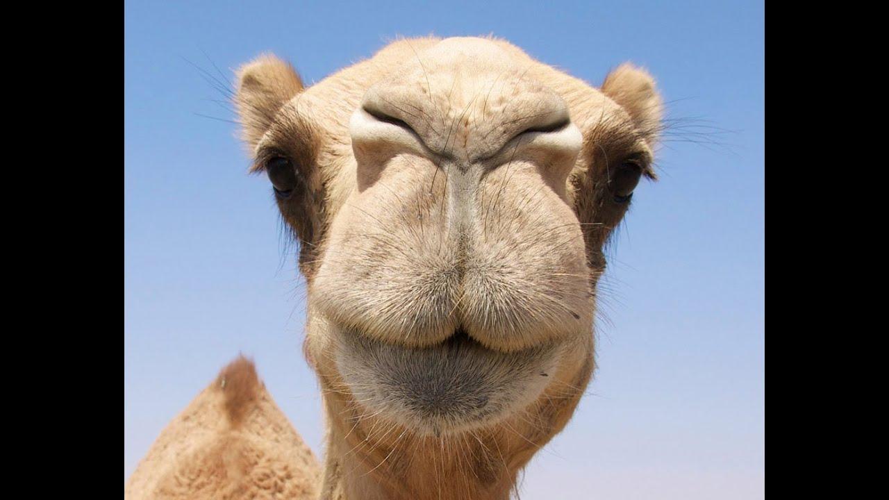 wie viele kamele bin ich wert?