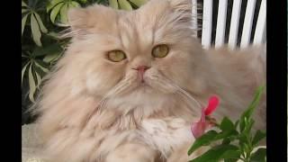 Персидский кот.Наш любимец.2015г.