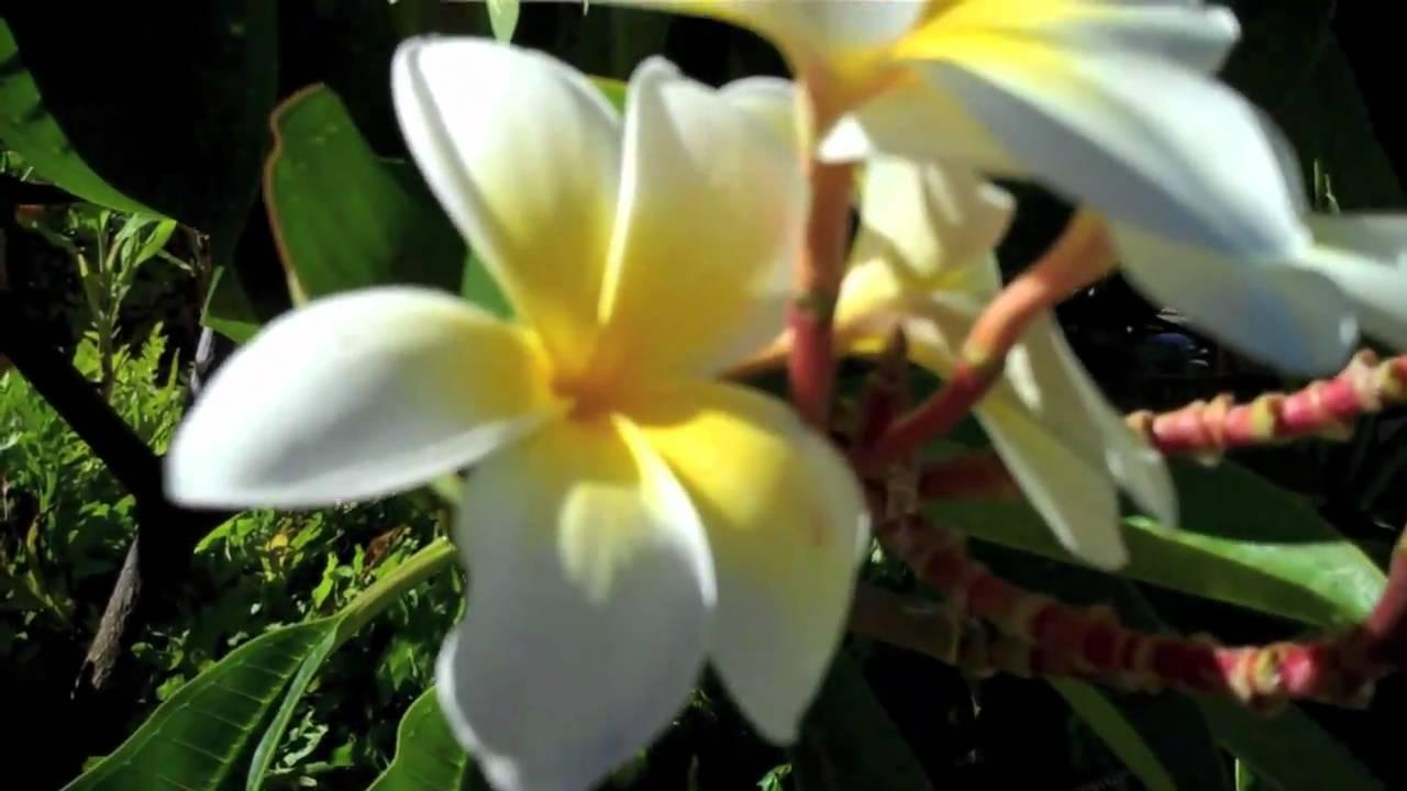 Flowers plants fruit on maui hawaii youtube flowers plants fruit on maui hawaii izmirmasajfo