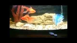 Золотые рыбы 1