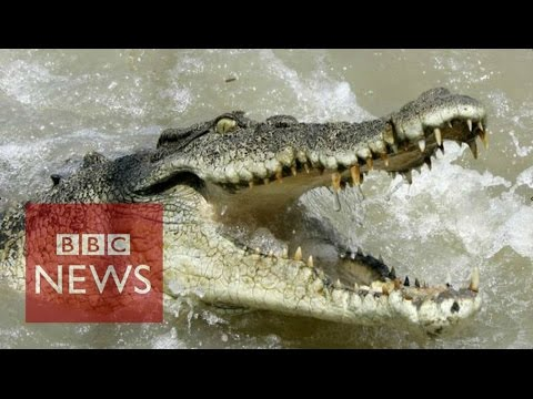 Why Are Fashion Houses Buying Up Crocodile Farms? BBC News