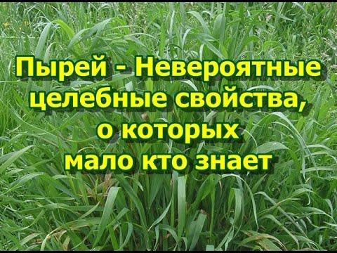 трава пырей фото лечебные свойства