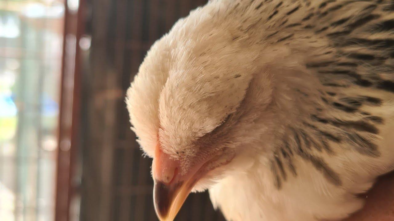 bütün tavuklarım  hasta oldu ölüyorlar dememek için bu videoyu izleyin #tavuklarımÖlüyor