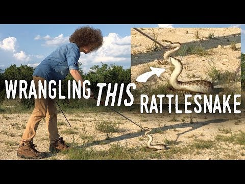 face-to-face-with-a-diamondback-rattlesnake!-how-to-deal-with-venomous-snakes