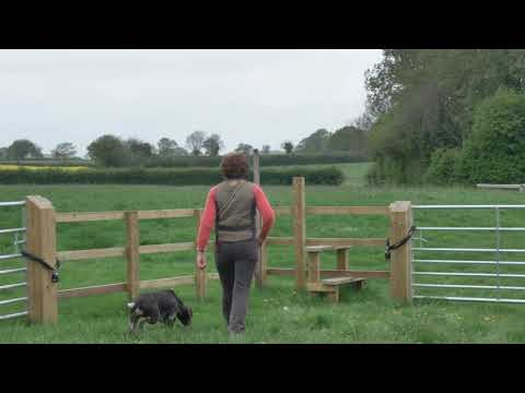 German shorthaired pointer early training on a walk