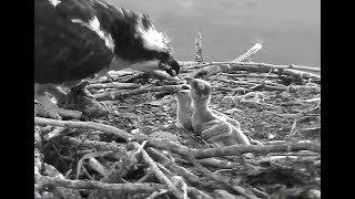 Hellgate osprey 6 15 18 530am …
