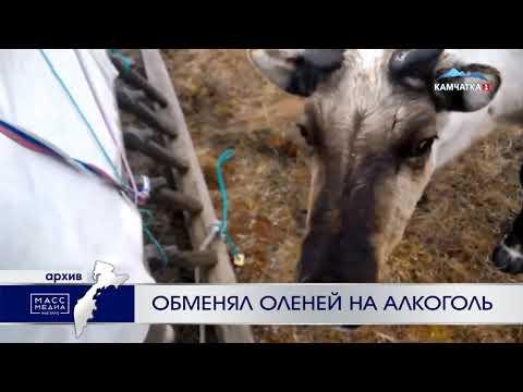 Оленевод обменял оленей на алкоголь   Новости сегодня   Происшествия   Масс Медиа
