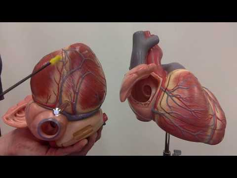 Coronary circulation: major arteries and veins