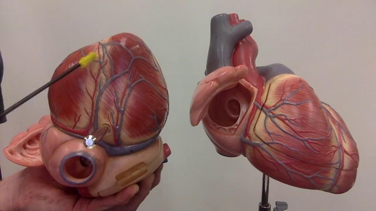 Coronary Circulation Major Arteries And Veins Youtube