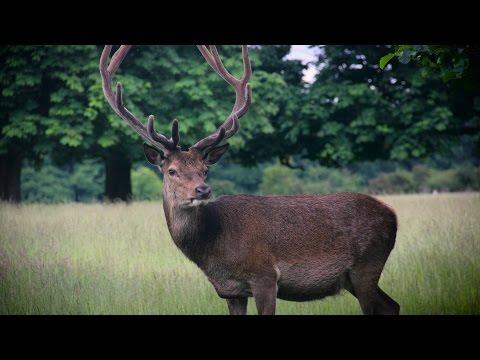 4K Red Deer Stag in Richmond Park London - Cervus Elaphus