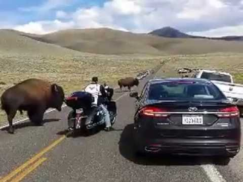 Yellowstone bison(buffalo) in rut, surrounds woman on motorcycle.