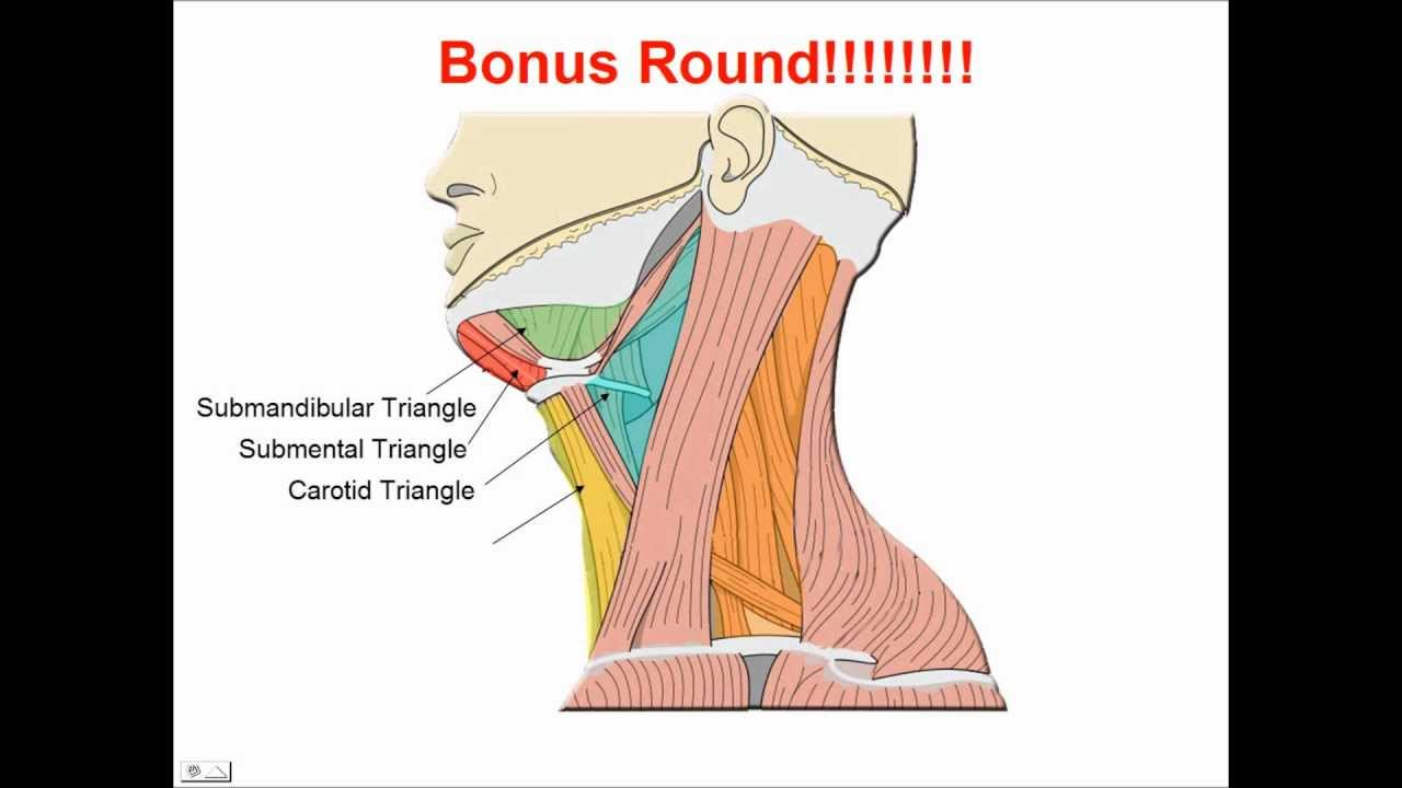 Neck Muscles Anatomy Study Aid And Quiz Youtube