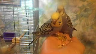 Волнистые ручные попугайчики! 4 птенца из гнезда) Москва