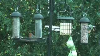 Robins And A Blue Tit On A Gardman Feeding Station