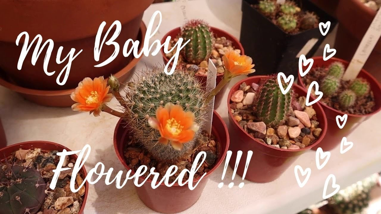 My 1st Seed-Grown Cactus to FLOWER! | Cactus Seedling | Cactus Caffeine