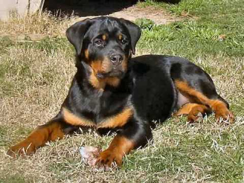 Rottweiler Rottweilers and More Rottweilers - YouTube