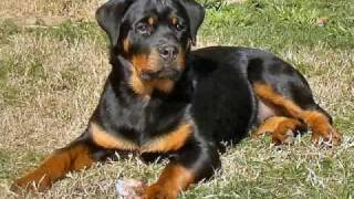 Rottweiler Rottweilers And More Rottweilers