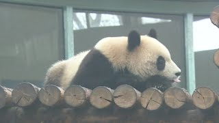 Zoo Keepers Provide Heating Bed for Giant Panda in Winter in Tianjin