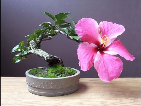 Hibiscus syriacus bonsai rose of sharon rose of althea - Bonsai zimmerpflanze ...
