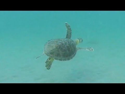 Green-Sea-Turtle-in-South-Florida-Green-Sea-Turtles-FL