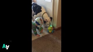 Pit Bull and Baby Perplexed by Dinosaur Toy