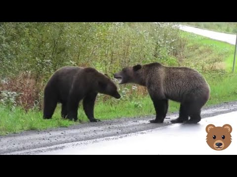 The Woody Show - Close Your Eyes and Listen to These Hot Bears Fighting