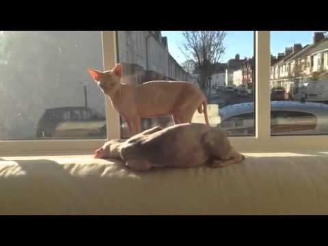 Sphynx cats mating