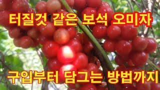 오미자 Schisandra Fruit, 五味子, 오미자…