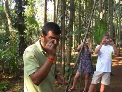 Листья карри. рассказ как растут, полезные свойства. Индийские специи.