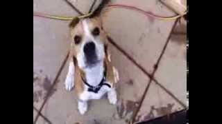 Cute Beagle Puppy Dog Plays On An Aarons Cubby And Uses The Slide!