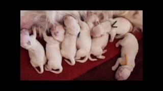 Cachorros Golden Retriever. Parto + Primeras horas de vida/  Puppies birth + First hours of life
