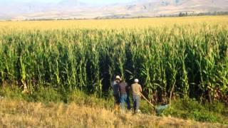 Silaj şampiyonu TRUVA mısır tohumu alvina'da 05334850785