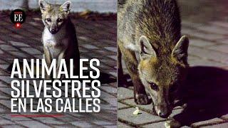 Coronavirus en el mundo: ¿Por qué hay  animales silvestres en las calles? - El Espectador