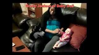 Siberian Husky Jealous Of New Baby Doll