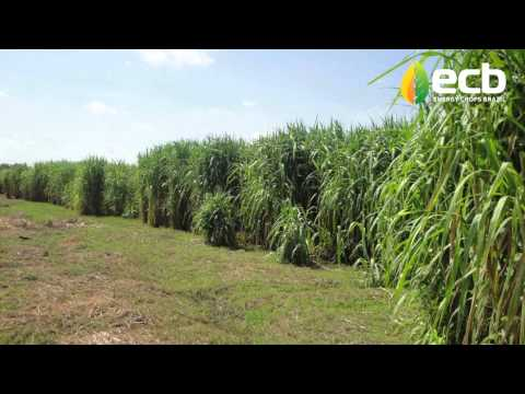 Giant Carajas Grass