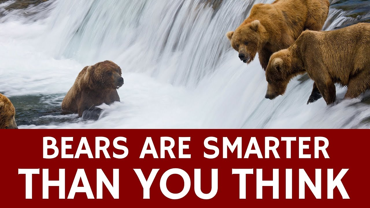 How Smart Are Bears Compared To Humans Facts About Bear - 32 bears decided try human