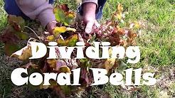 Two Ways to Divide and Propagate Coral Bells. AKA Heuchera micrantha.