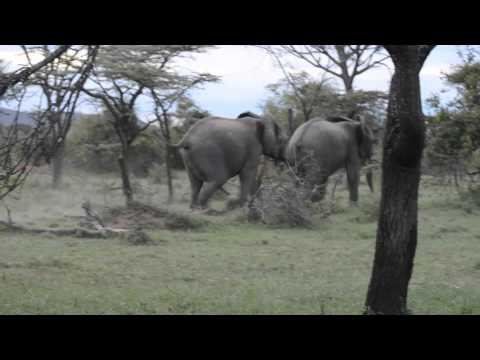 Young Bull Elephants Chasing Each Other In Play-Pursuit