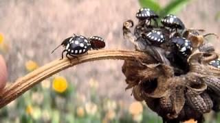 Nymph Southern Green Stink Bug. Ninfa De Chinche Verde (nezara Viridula)