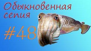 сепия или панцирь каракатицы (Sepia or cuttlefish shell)