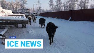Ice News: Ген морозостойкости выявили у якутского скота и поилки для львов от 01.04.21 (вечер)